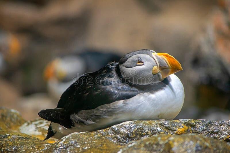 La pulcinella di mare, uccello, si rilassa, ritratto, sveglio immagine stock
