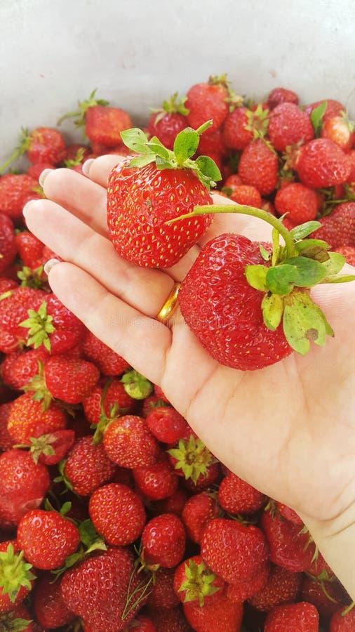 La pulpe juteuse de fraise a un arome unique et un goût doux en Ukraine images libres de droits