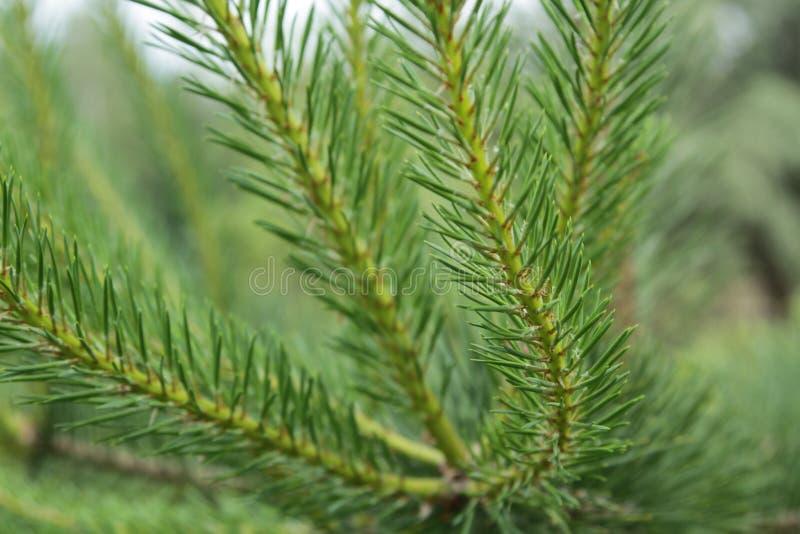 La puntilla hermosa del pino imagen de archivo libre de regalías