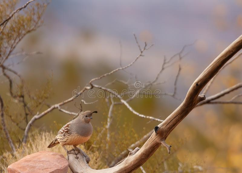 La quaglia di un Gambel femminile sta sull'estremità di un ramo nudo con il fogliame di autunno nei precedenti fotografia stock libera da diritti