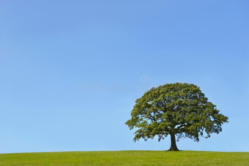 La quercia antica in estate fotografia stock