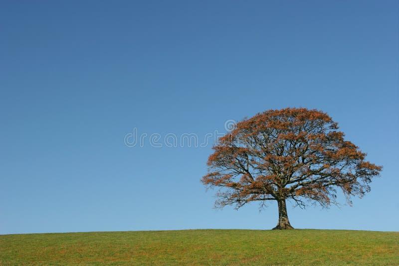 La quercia in autunno fotografia stock libera da diritti