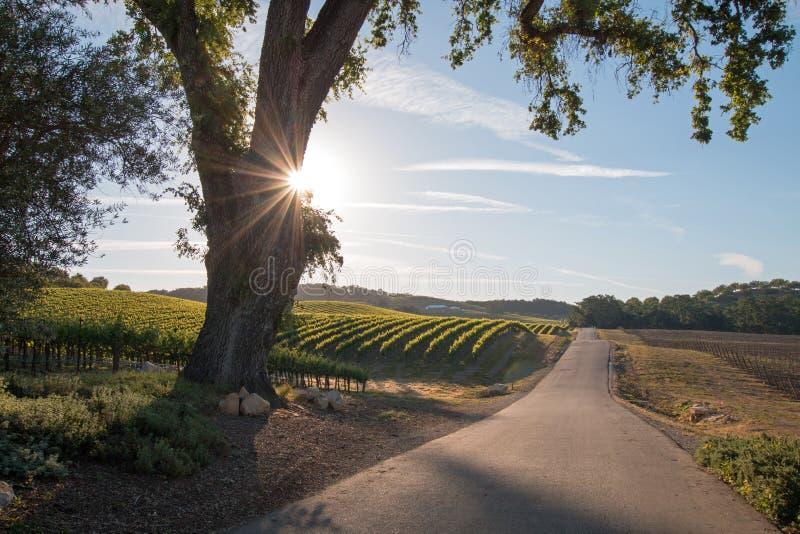 La quercia della valle della California con il sole di primo mattino irradia nel paese di vino di Paso Robles nella California ce immagine stock libera da diritti