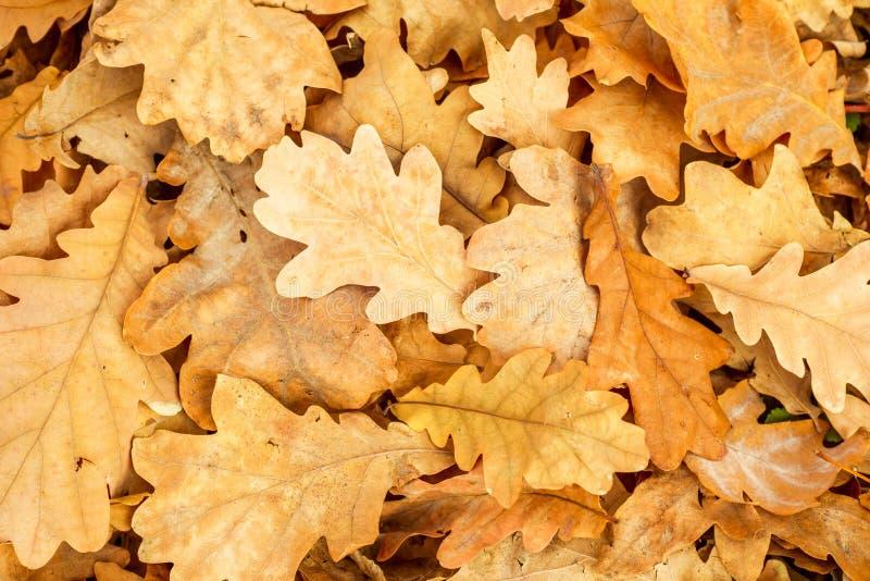 La quercia gialla lascia la caduta Modelli delle foglie della quercia nel parco di autunno Fondo con le foglie variopinte di autu immagini stock