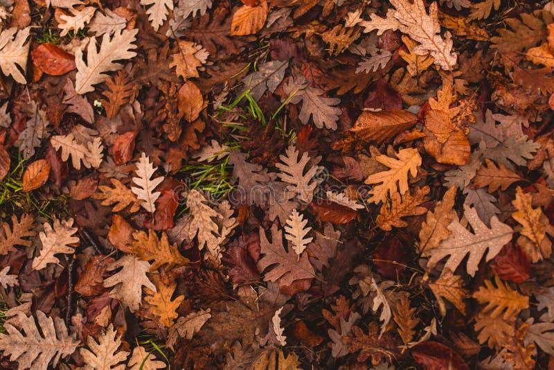 La quercia lascia caduto alla terra nell'autunno immagine stock libera da diritti