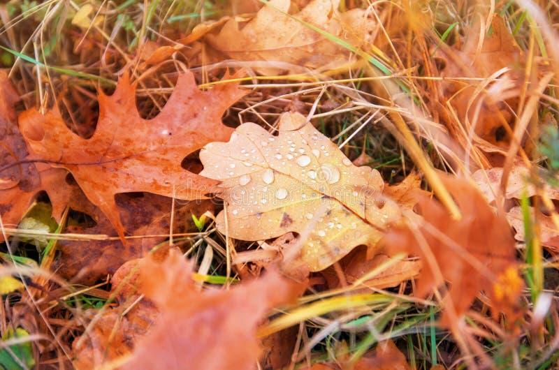 La quercia rossa e marrone di autunno va con le gocce di acqua su erba immagini stock libere da diritti