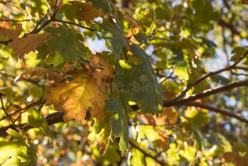 La quercia tintoria di colore di caduta, la luce filtrata di autunno, foglie ha orlato alla luce fotografia stock libera da diritti