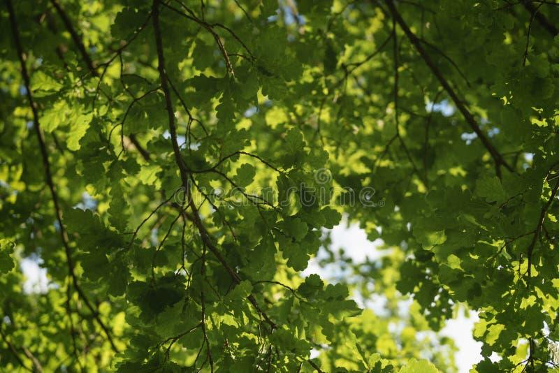 La quercia verde lascia contro cielo blu nel giorno soleggiato immagine stock libera da diritti