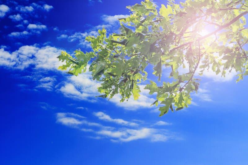 La quercia verde va contro cielo blu con le nuvole e la luce solare Copi lo spazio fotografia stock libera da diritti