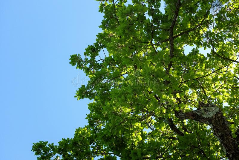 La quercia verde va contro il cielo blu con le nuvole immagini stock