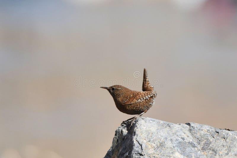 La queue écologique sauvage de photographie de migration d'oiseau d'oiseau insectivore d'oiseau de roitelet a retourné le corps a images stock