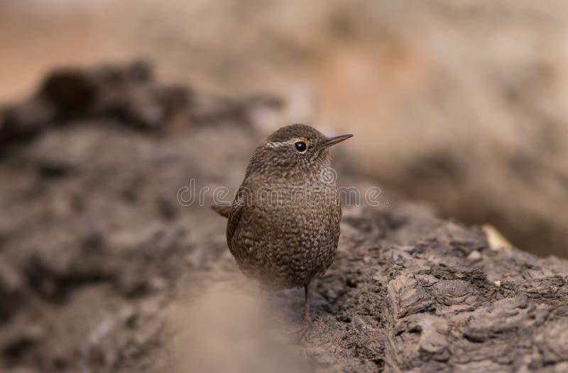 La queue écologique sauvage de photographie de migration d'oiseau d'oiseau insectivore d'oiseau de roitelet a retourné le corps a photo libre de droits
