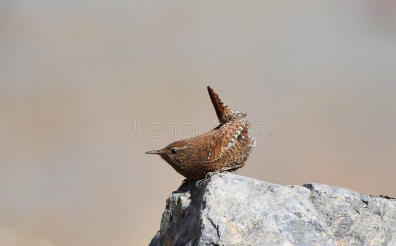 La queue écologique sauvage de photographie de migration d'oiseau d'oiseau insectivore d'oiseau de roitelet a retourné le corps a images libres de droits