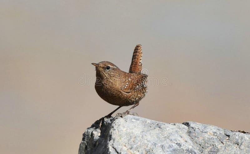 La queue écologique sauvage de photographie de migration d'oiseau d'oiseau insectivore d'oiseau de roitelet a retourné le corps a photographie stock libre de droits