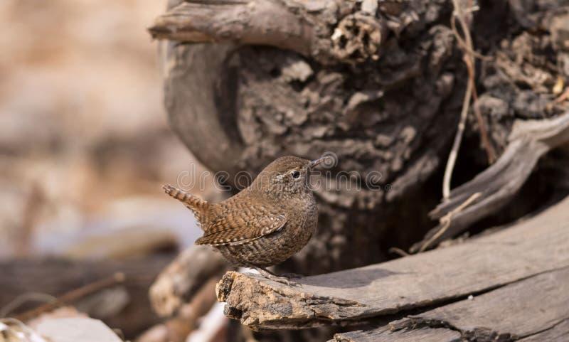 La queue écologique sauvage de photographie de migration d'oiseau d'oiseau insectivore d'oiseau de roitelet a retourné le corps a image stock