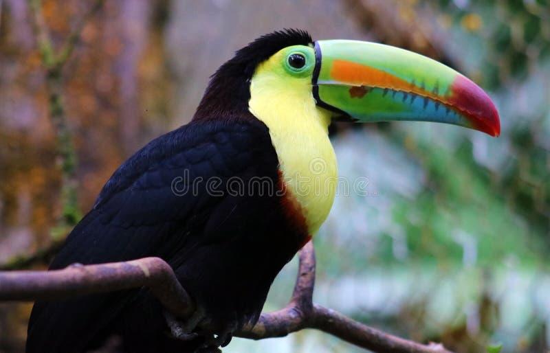 La quilla cargó en cuenta el tucán hermoso colorido en el tucano tucan magnífico de Costa Rica fotografía de archivo