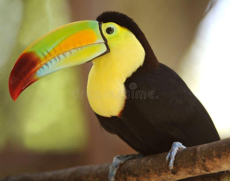 La quille a affiché toucan sur le branchement d'arbre, Guatemala