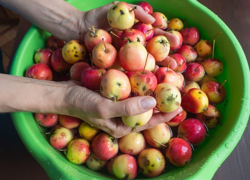 La récolte d'automne des pommes a lavé dans un bassin en plastique images libres de droits