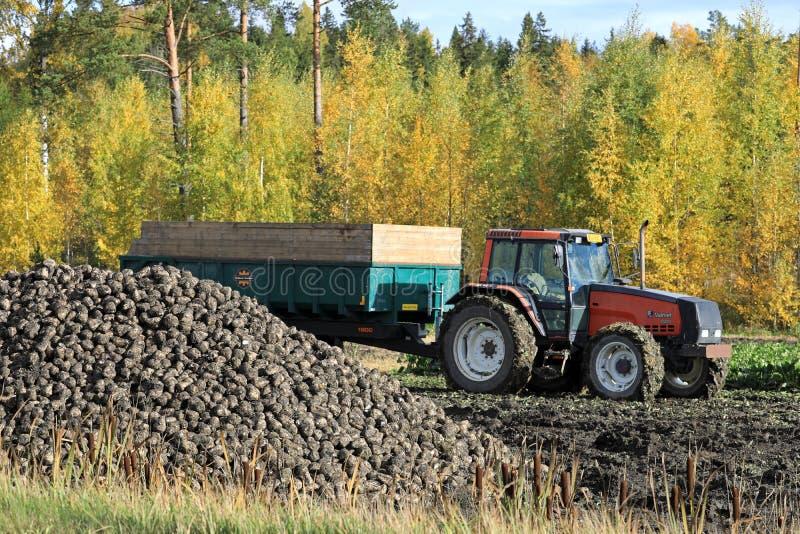 La récolte de betteraves à sucre en automne photographie stock libre de droits