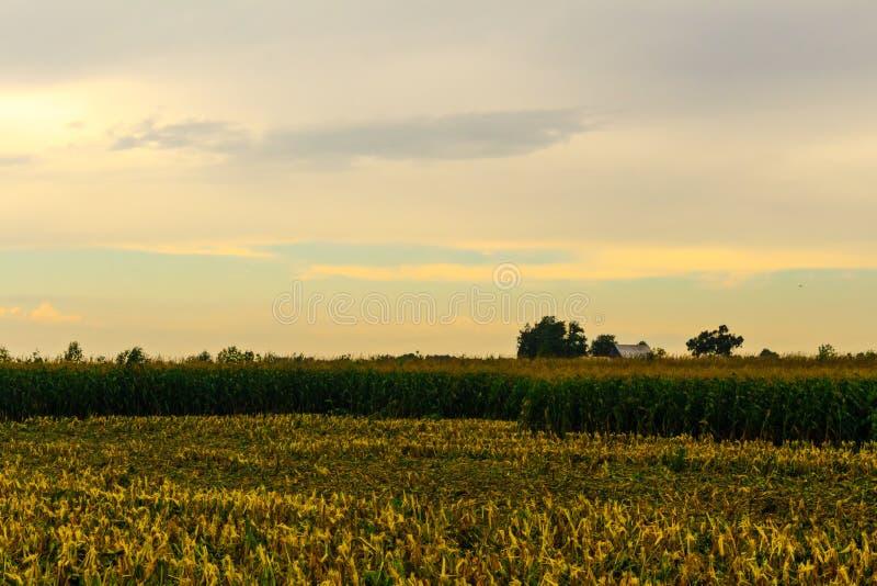 La récolte de maïs a commencé photos libres de droits