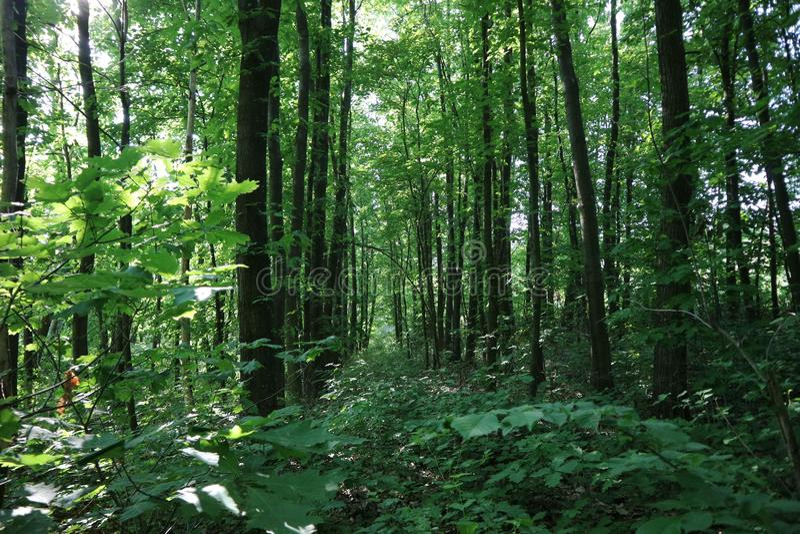 La régénération fraîche dans le bois d'été photographie stock