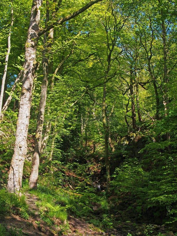 La région boisée verte vibrante de ressort dans une vallée de flanc de coteau raide avec les arbres de hêtre grands en bois de nu photographie stock
