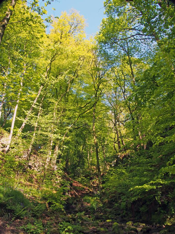 la région boisée verte vibrante de ressort dans une vallée de flanc de coteau raide avec les arbres de hêtre grands et le petit c image stock