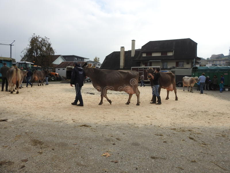 Download La réunion des vachers image éditorial. Image du contact - 87705210