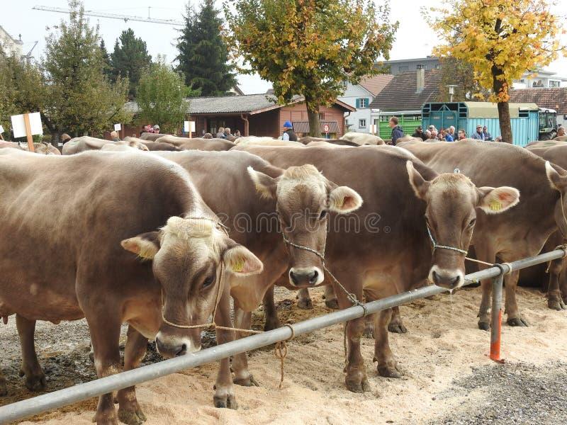 Download La réunion des vachers image éditorial. Image du engagement - 87705230