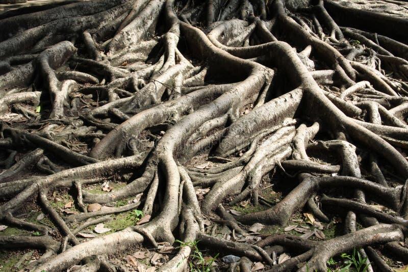 Download La raíz imagen de archivo. Imagen de raíz, enlace, sólido - 44851023