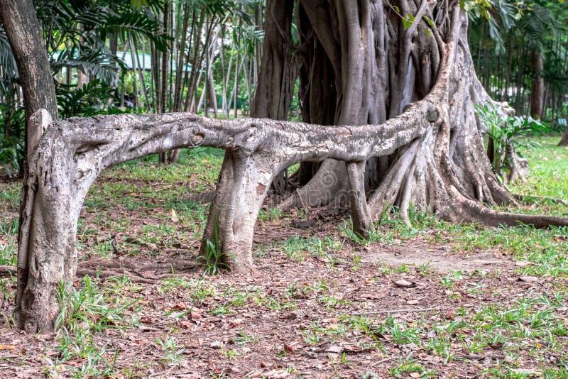 La raíz aérea del benjamina de los ficus del higo que llora le gusta un banco en jardín foto de archivo libre de regalías