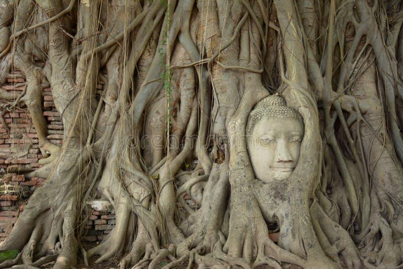 La raíz alrededor de la cabeza de la estatua de Buda fotos de archivo