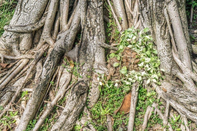 La raíz del árbol en la hierba verde foto de archivo