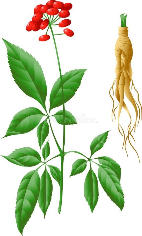 La raíz y el tronco del ginseng ilustración del vector