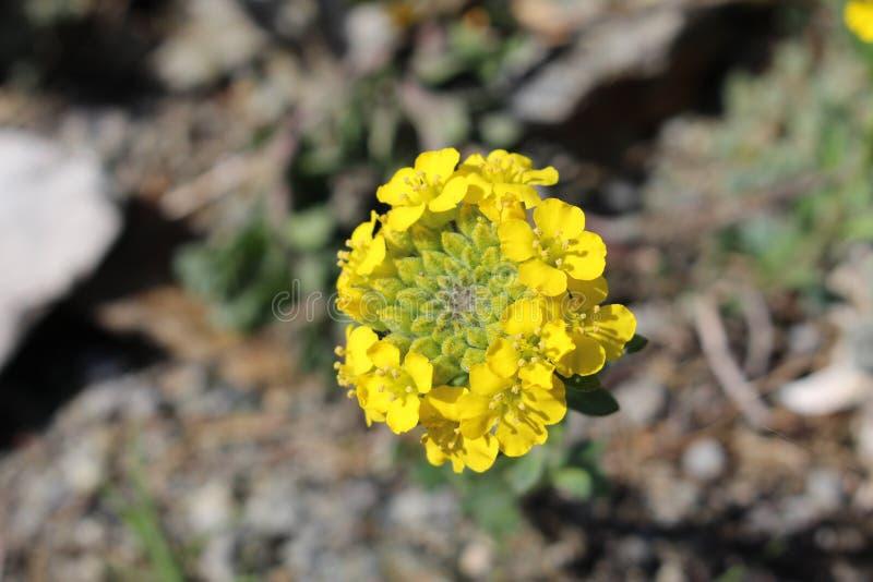 La rabina florece (brassica Napus) fotografía de archivo