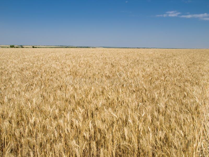 La raccolta, campo del frumento. immagine stock libera da diritti