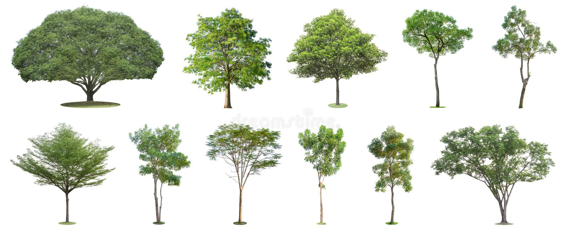 La raccolta degli alberi isolati su fondo bianco I bei ed alberi robusti stanno sviluppando nella foresta, nel giardino o nel par fotografia stock libera da diritti