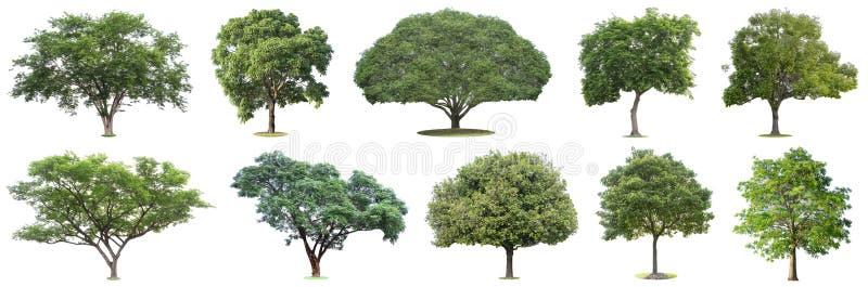 La raccolta degli alberi isolati su fondo bianco I bei ed alberi robusti stanno sviluppando nella foresta, nel giardino o nel par fotografie stock