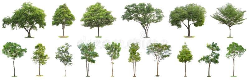 La raccolta degli alberi isolati su fondo bianco I bei ed alberi robusti stanno sviluppando nella foresta, nel giardino o nel par fotografia stock