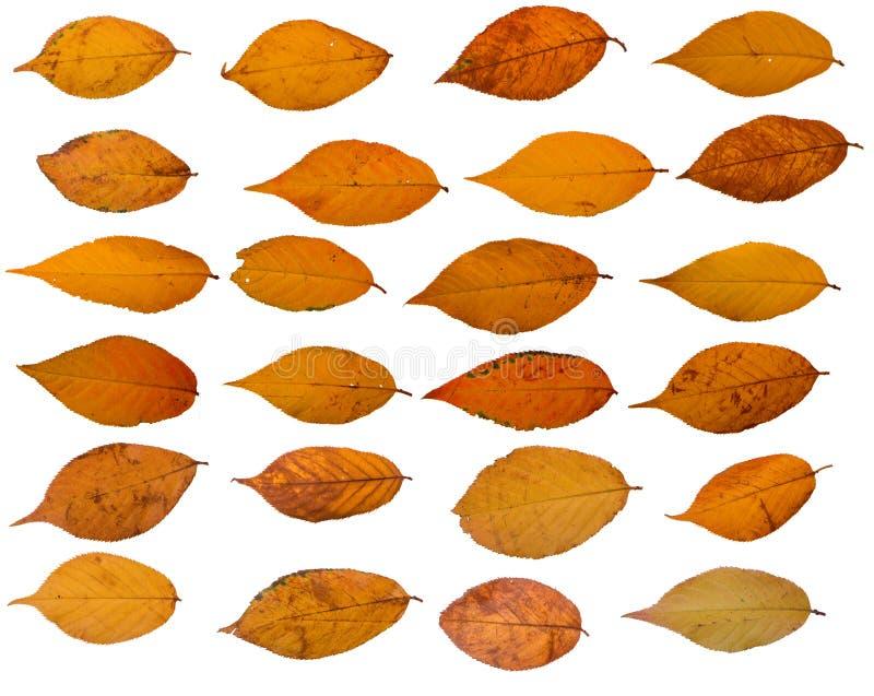 La raccolta di sakura giallo va su un fondo bianco fotografia stock libera da diritti