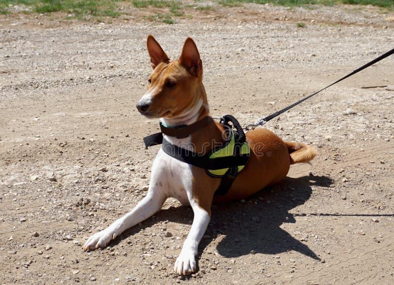 La race Basenji de chien se trouve sur une route et une ?coute poussi?reuses images libres de droits