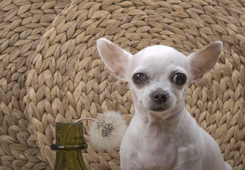 La race de chien de chiwawa pose à côté d'un dandelio image stock