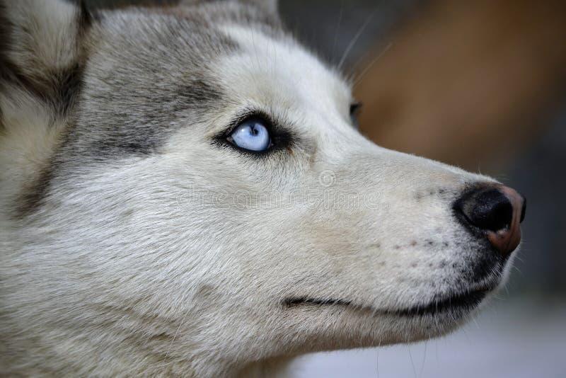 La race de chien de cosse est la plus paisible au monde photo stock