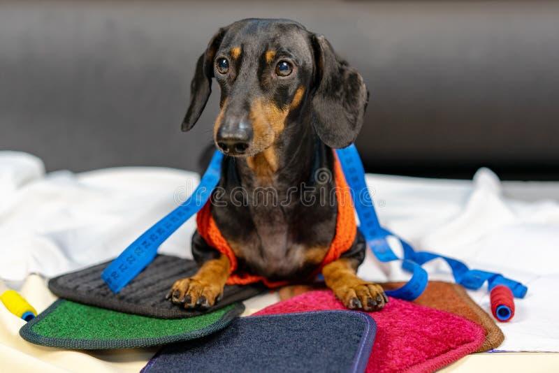 La race de chien du teckel, noir adorable et bronzage, dans le ruban métrique de couture de mesure de tailleur de règle de corps, image libre de droits