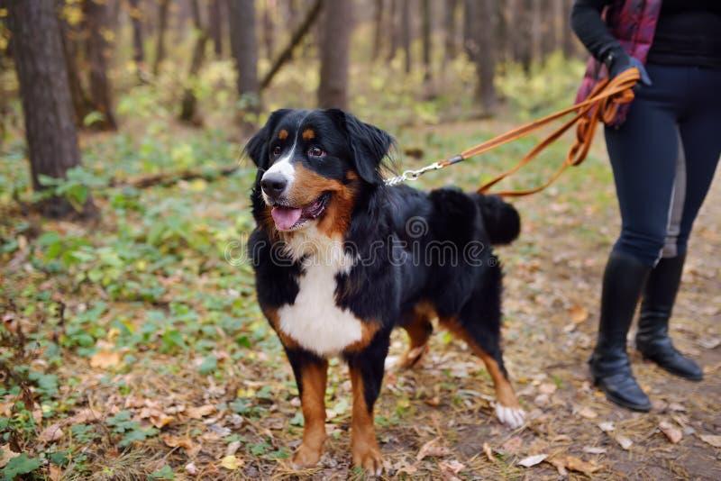 La race de chien de race Purebred sennenhund avec son propriétaire se promène en forêt le jour de l'automne images stock