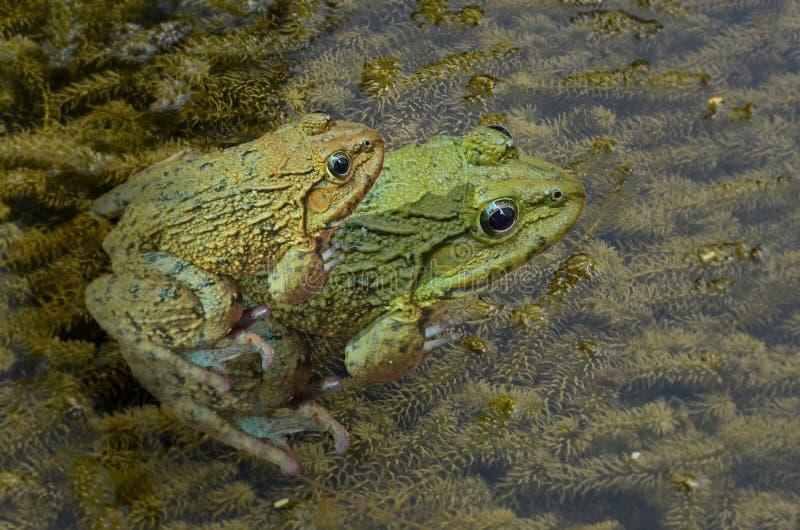 La race des couples mettent en place des grenouilles sur les algues vertes dans l'eau image stock