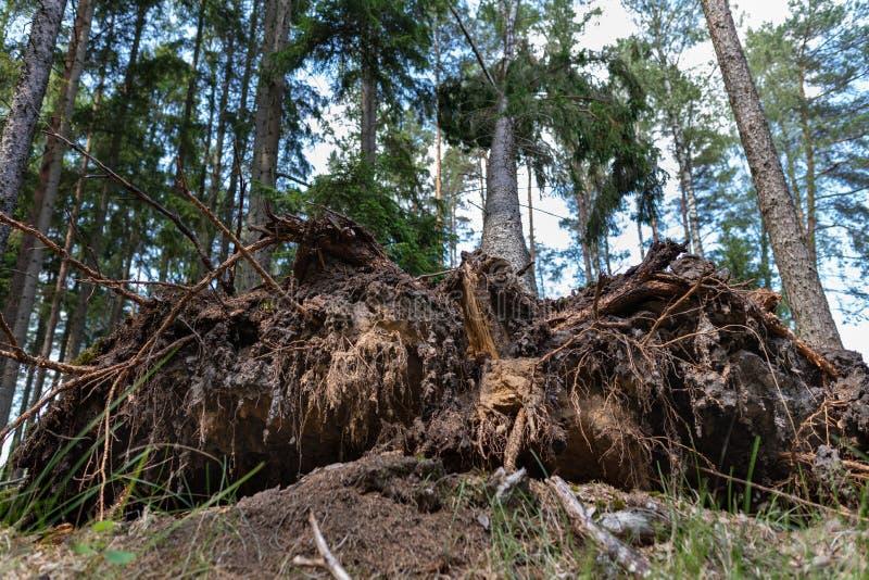 La racine d'un arbre déraciné par le vent Le pin est retourné dans le complexe de forêt image stock