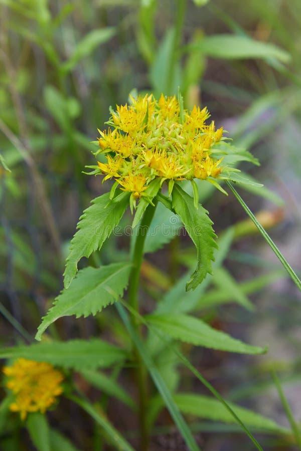 La radice comunemente dorata di rhodiola rosea, è aumentato radice, il roseroot, roseroot occidentale immagine stock