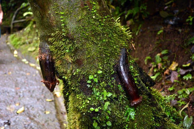 La radice di un albero sviluppato da un tronco di albero, simile all'organo sessuale maschio in Costa Rica fotografia stock