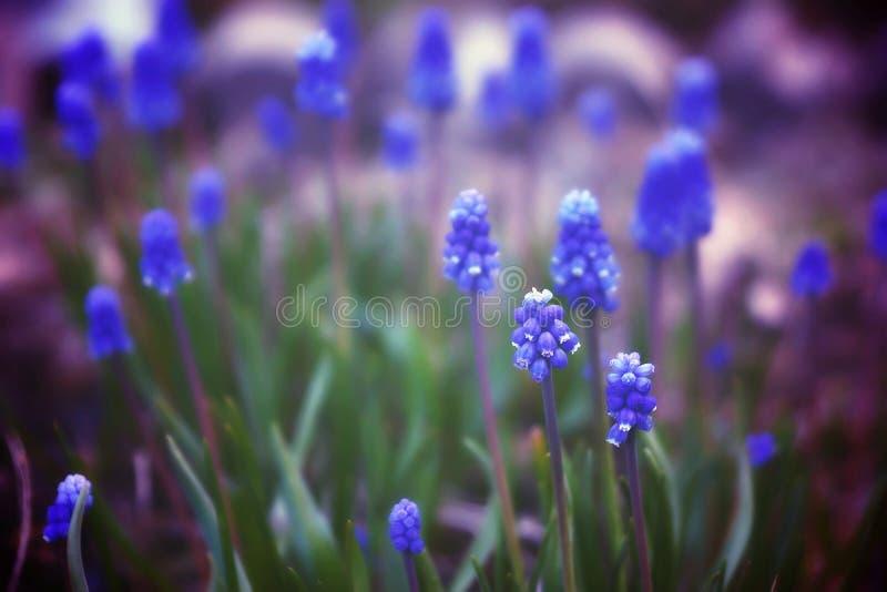 La radura con i bei fiori blu ha chiamato il miscuri, fioritura della molla immagine stock libera da diritti